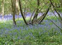 shorne bluebells